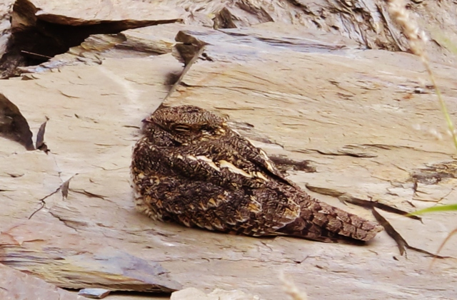 Savanna Nightjar, Wutai, 28th December 2013