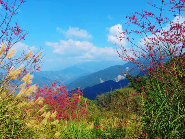 The pink blossoms at Tengjhih are beautiful and attract flocks of feeding birds, especially Taiwan Yuhinas.