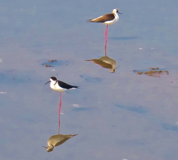 Black-winged Stilts at Qigu, January 19th