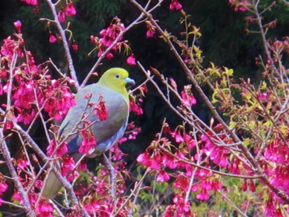 White-bellied Green Pigeon, Tengjhih, January 26th.