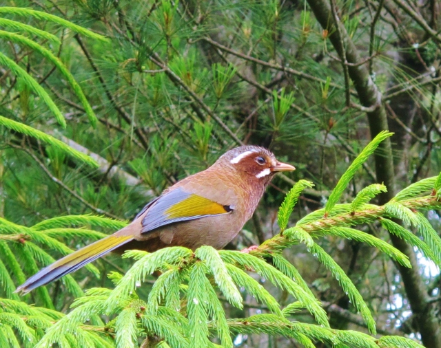 White-whiskered Laughingthrush, Dasyueshan. A common and often very tame endemic, found only at high elevations. Certain individuals become very accustomed to humans and can often be found hopping around at people's feet and even feeding from the hand.