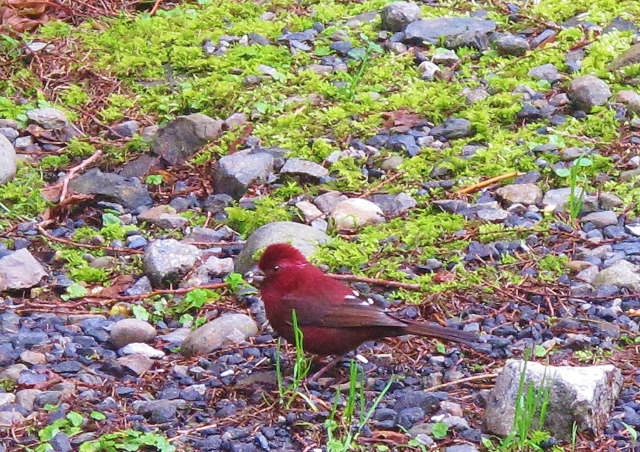 Vinaceous Rosefinch, Dasyueshan. Now widely considered a Taiwanese endemic, and renamed Taiwan Rosefinch according to some authorities. Resident in high mountains, the female is rather nondescript but the male is a spectacular deep red bird.