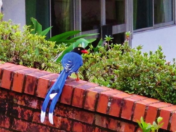 Taiwan Blue Magpie, Huisun, Taiwan, December 2013.