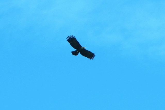 Black Eagle, Tengjhih National Forest. An uncommon and beautiful raptor of high mountain forests. I took this photo in Tengjhih where I see this species with some regularity.