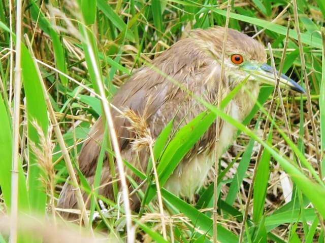 Juvenile Black-crowned Night Heron, Qigu lighthouse pools, March 9th 2014.