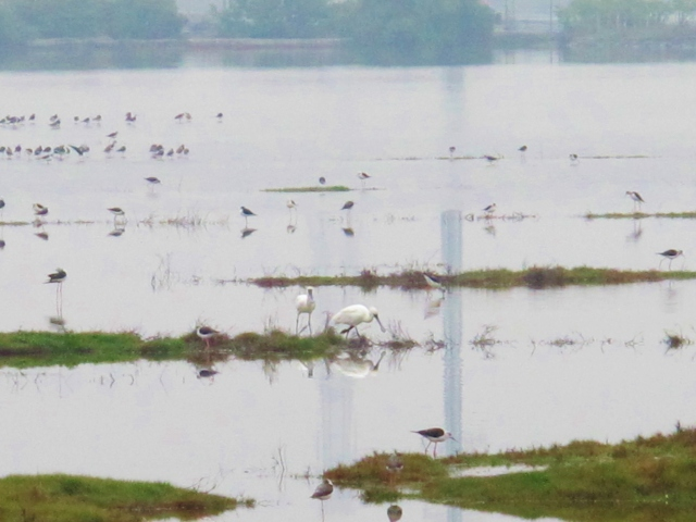Black-faced Spoonbills at the Yongan Wetland Reserve in Greater Kaohsiung, March 11th.