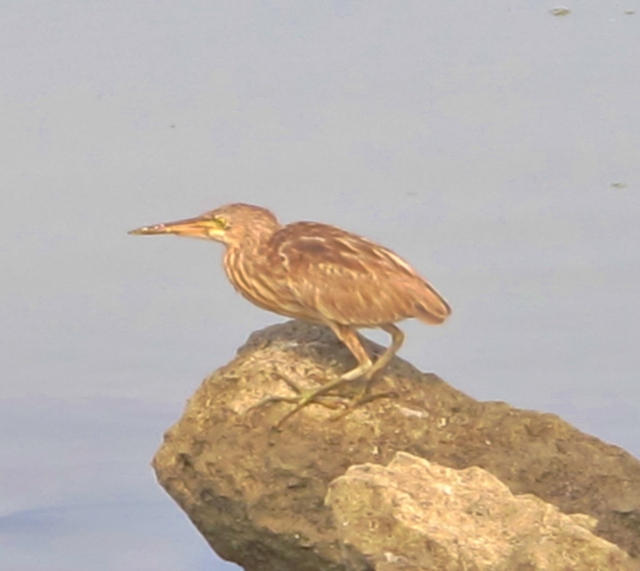 Yellow Bittern. A total of 8 were seen in the Dapeng Bay area on March 13th.