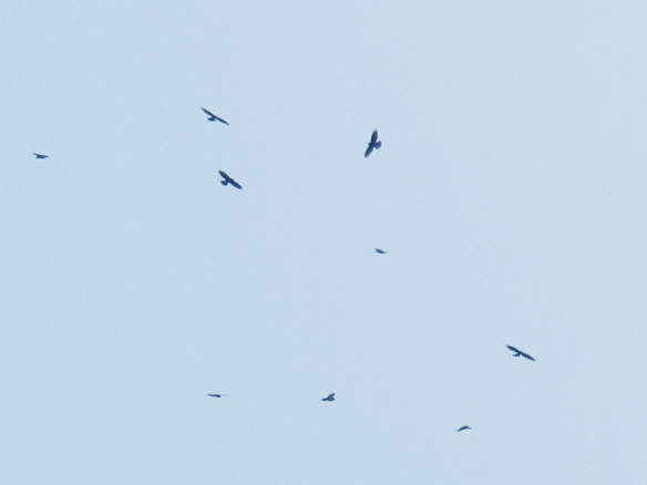 Grey-faced Buzzards, March 18th.