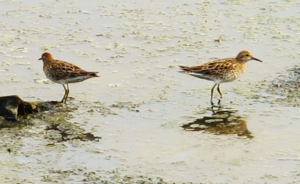 Sharp-tailed Sandpipers, Cheting Marshes, April 2nd.