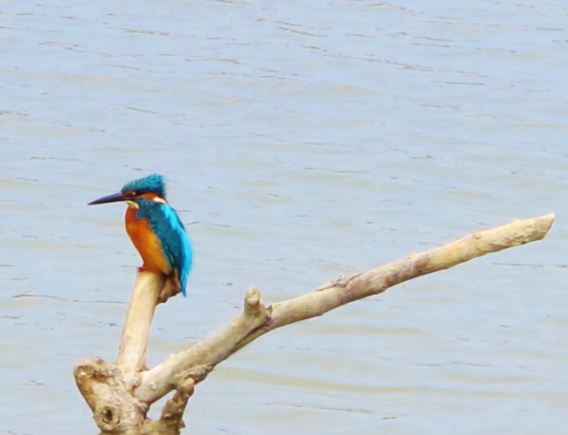 Common Kingfisher, Cheting Marshes, April 8th