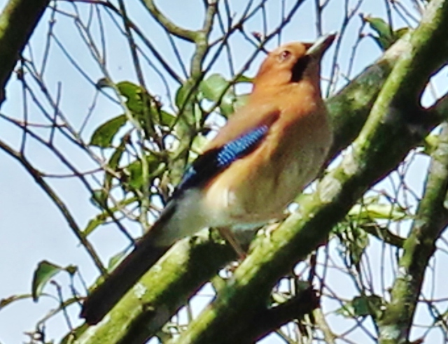 Eurasian Jay, Tengjhih National Forest, April 10th.