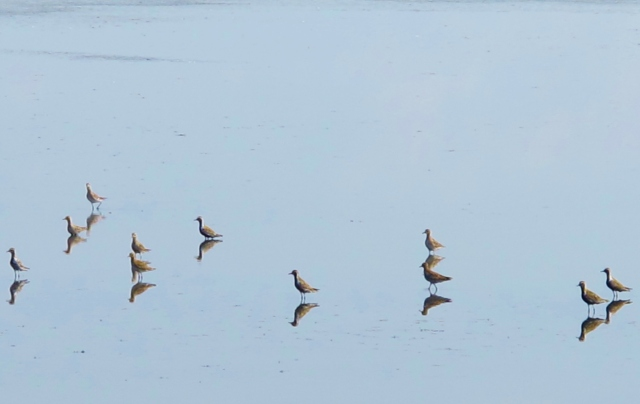 Pacific Golden Plovers at Cheting Marshes, April 13th.