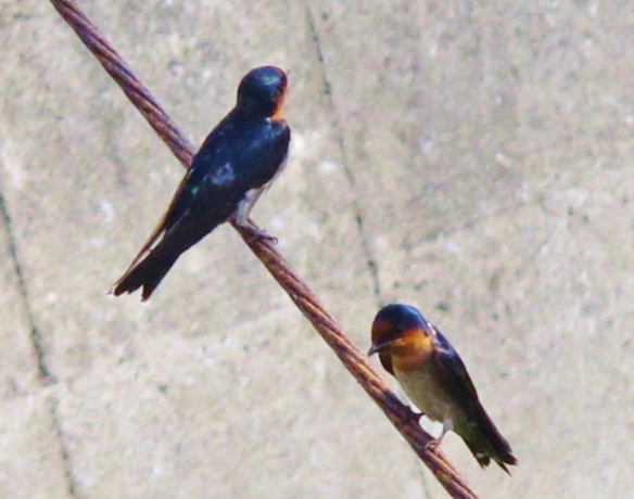 Pacific Swallows, Cheting Marshes, April 13th.