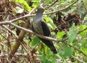 Oriental Cuckoo, Yuanfugang Wetlands Park, April 17th.