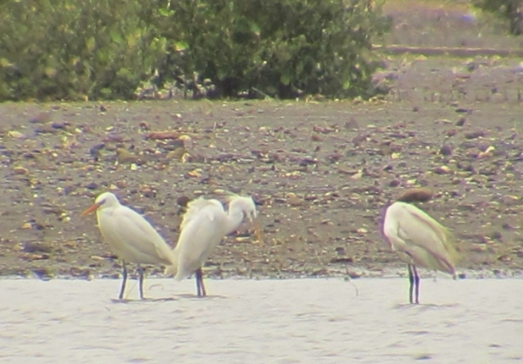 Poor digiscoped record shot of two of the four Chinese Egrets present at Dapeng Bay on April 19th. The bird on the right is a Little Egret.