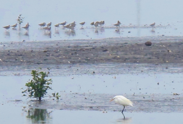 Chinese Egret and waders, Dapeng Bay, May 1st.