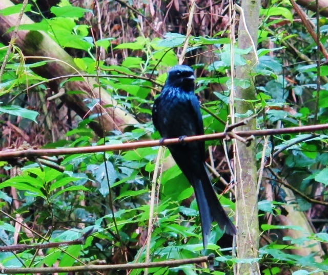 Bronzed Drongo, Linnei Park, May 4th.