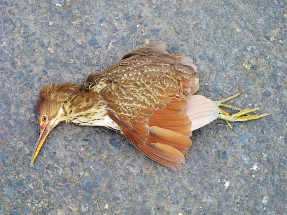 Female Cinnamon Bittern, sadly found recently dead on the road near Budai.