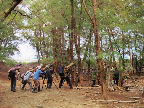 Photographers watching one of the two Ruddy Kingfishers present in coastal forest at Qigu, May 4th.