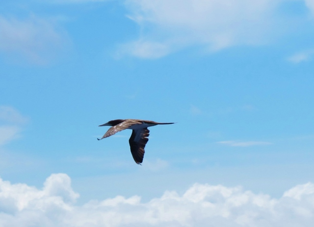 Brown Booby, at sea between Kenting and Lanyu Island, June 7th.
