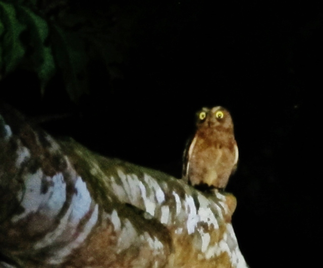 Lanyu Scops Owl, Lanyu Island, June 7th.