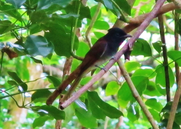 Japanese Paradise-Flycatcher, Lanyu Island, June 8th.