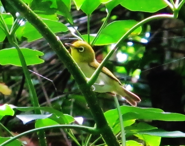 Lowland White-eye, Lanyu Island, June 8th.