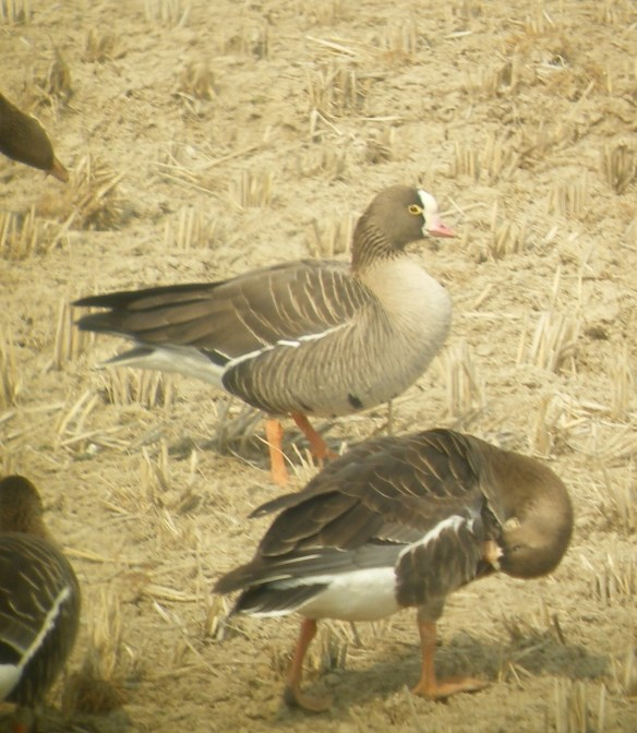 Adult Lesser White-fronted Goose, Junam Reservoir, South Korea, March 2011.