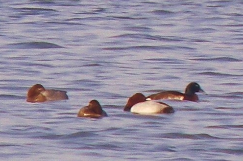 Adult drake Baer's Pochard (right hand bird), Junam Reservoir, South Korea, March 2011.