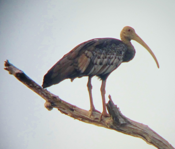 Giant Ibis, Tmatboey, Cambodia, December 2012.