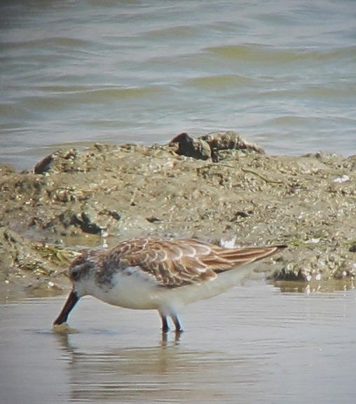Spoon-billed Sandpiper, Pak Thale, Thailand, December 2012.