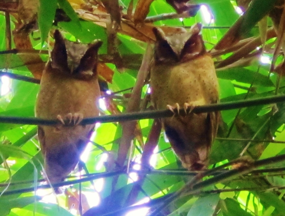 White-fronted Scops Owls, Kaeng Krachan National Park, Thailand, December 2012.