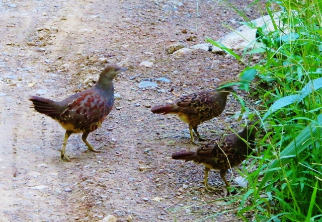 Taiwan Bamboo-partridges, Dahanshan, July 16th.