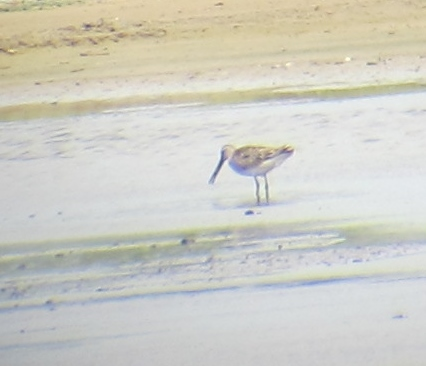 Very poor digiscoped record shots of today's rarities: Greater Flamingo and Asian Dowitcher.