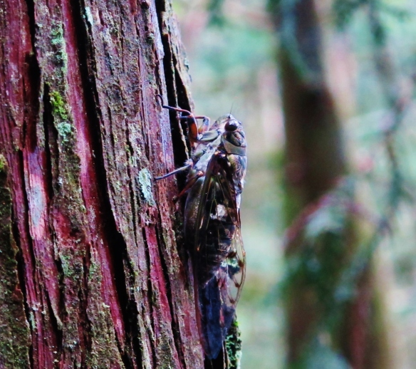 Cicada at Tengjhih National Forest. This noisy creature is not your friend when you are trying to listen for Taiwan Hill Partridge feeding in the leaf litter.