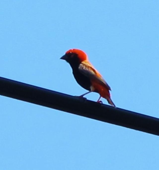 Southern Red Bishop? Qigu, August 27th.
