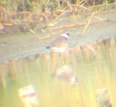 Common Ringed Plover, Budai, September 2nd. In this shot, the wide white neck collar and broad white supercilium can be seen well.
