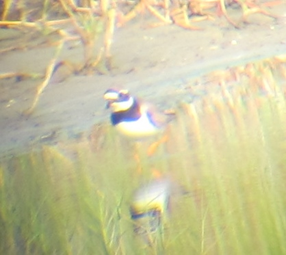 Common Ringed Plover, Budai, September 2nd. Here the extensive white forehead can be seen.