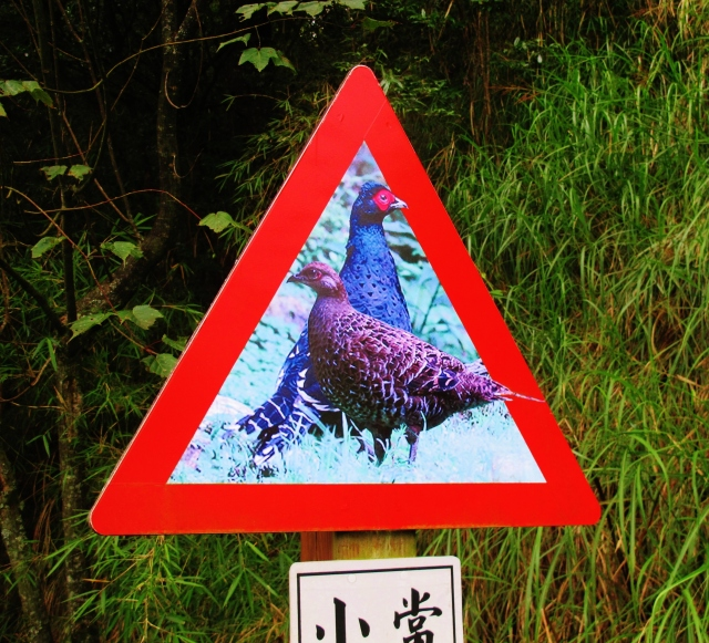 Warning sign at Dasyueshan Km 47 .... these were the only Mikado Pheasants I saw despite spending around four hours at the stakeout.
