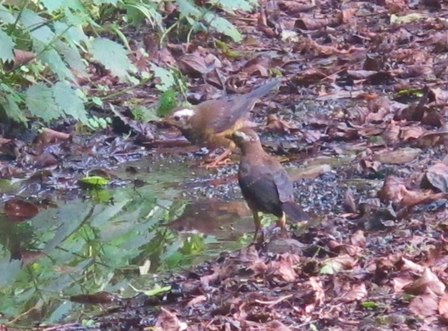 Young Taiwan Thrushes at a puddle on Dasyueshan forest road 210, September 6th.