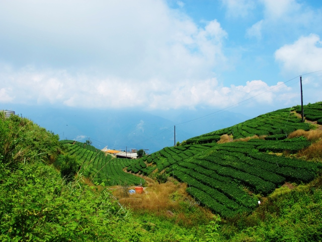 Tea plantations downhill from the Blue Gate trail, near Wushe.