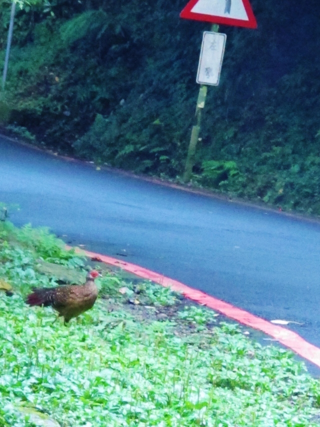 Female Swinhoe's Pheasant at Dasyueshan Km 23, September 8th.
