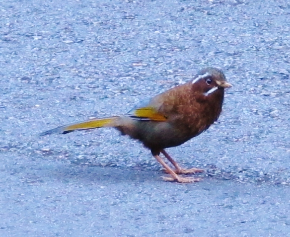 White-whiskered Laughingthrush on the road at Km 47, Dasyueshan, September 8th.