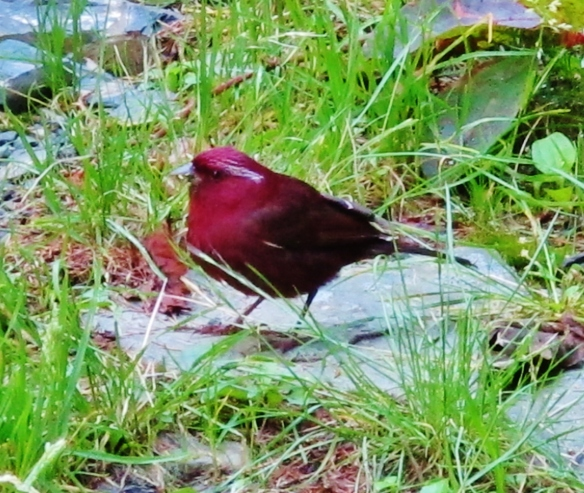 Male Vinaceous Rosefinch at Dasyueshan Km 47, September 6th.