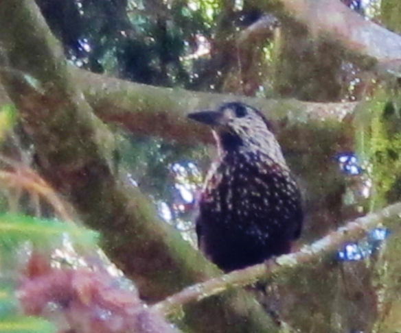 Spotted Nutcracker at Dasyueshan Km 47, September 8th.