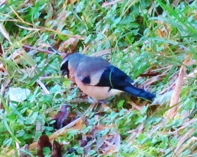 Grey-headed Bullfinch at Tienchih Lake, Dasyueshan, September 8th.