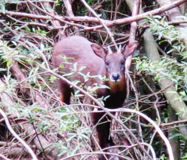 Formosan Serow, Dasyueshan forest trail 220, September 8th.