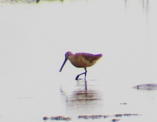 Asian Dowitcher at Dapeng Bay, September 19th - my fifth self-found individual of this rare species in Taiwan this year.