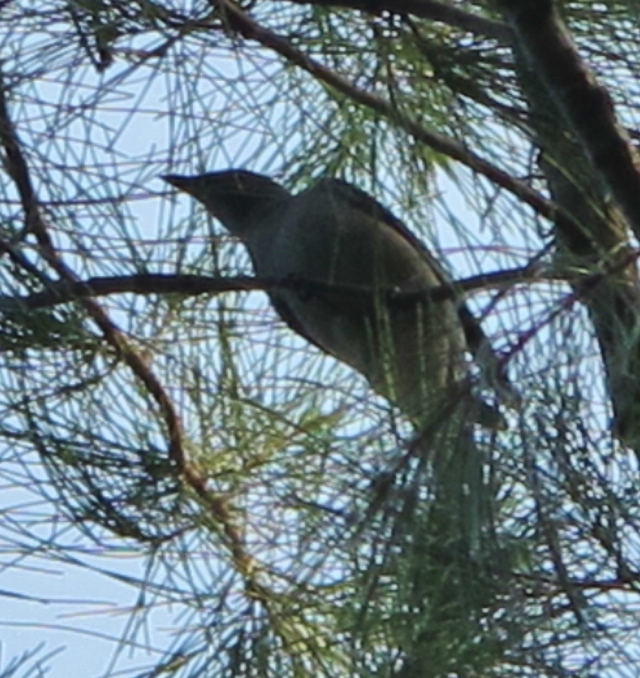 Black-winged Cuckooshrike, Qigu, September 30th.
