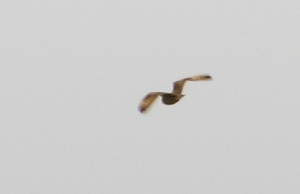 Flight shots of today's Short-eared Owl at Cheting Marshes, flushed twice from dry marshland on the south side of the road.